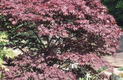 Japanese maple (Acer palmatum 'Bloodgood')