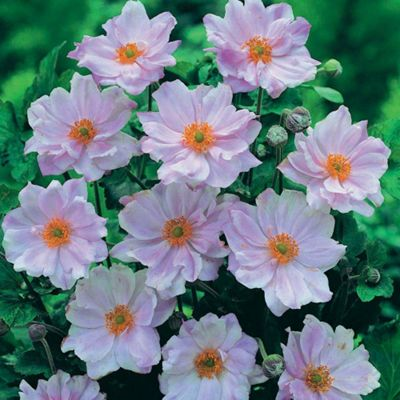 Anemone 'Queen Charlotte' - Part of the Alan Titchmarsh Collection - 3 jumbo plugs