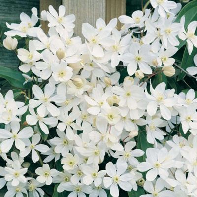 Clematis armandii - Part of the Alan Titchmarsh Collection - 1 x 9cm potted plant