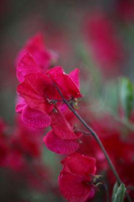spencer sweet pea seed Buccaneer (Lathyrus odoratus 'Buccaneer')