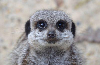 Meet the Meerkats Experience at Paradise Wildlife Park
