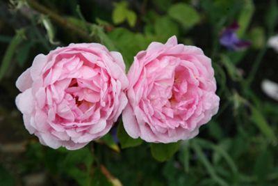 rose Constance Spry (climber/shrub) (Rosa 'Constance Spry')