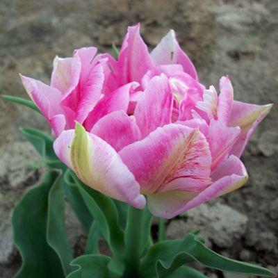 10 x Tulip 'Peach Blossom' Bulbs - Perennial Spring Flowers