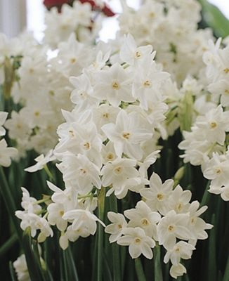 paperwhite daffodil bulbs (Narcissus 'Ziva')