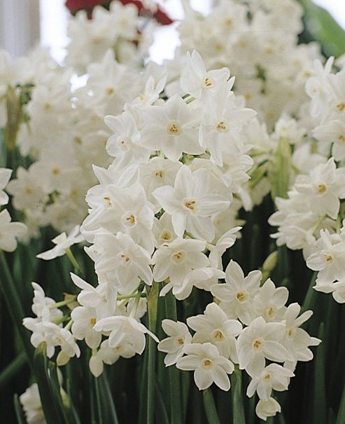 paperwhite daffodil bulbs (Narcissus 'Ziva')