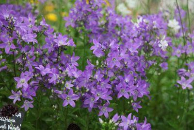 milky bellflower (Campanula lactiflora 'Pritchard's Variety')