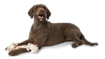 Aspen Pet Yummy 2Knot Bone Steak Dog Toy - Large (12.7cm L x 7.62cm W x 34.29cm H)