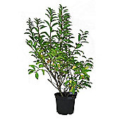 Forsythia x intermedia Lynwood Shrub 3L Potted