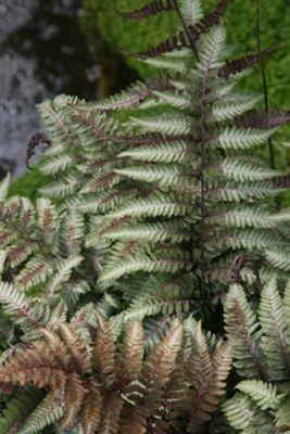 painted lady fern (Athyrium niponicum var. pictum)