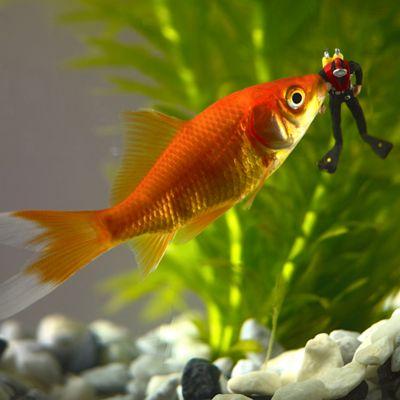 Holy Mackerel When Goldfish Attack. Goldfish Attacking Diver Greetings Card