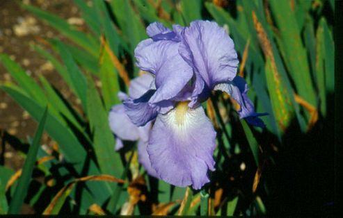 iris' (tall bearded) (Iris 'Jane Phillips')
