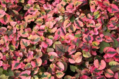 heart-leaved houttuynia (Houttuynia cordata 'Chameleon')