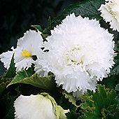 6 x White Fimbriata Begonia Bulbs - Perennial Summer Flowers (Tubers)