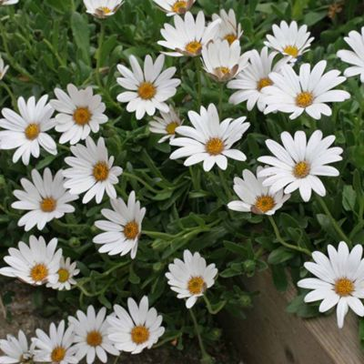 Osteospermum 'Snow Pixie' (Hardy) - 3 jumbo plugs