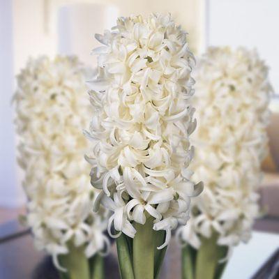 10 x Prepared Hyacinth Orientalis 'White Pearl' Bulbs - Perennial Indoor Flowers