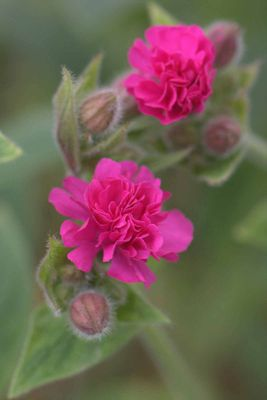 campion (Silene dioica 'Firefly' (PBR))