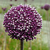 6 x Allium 'Summer Drummer' Bulbs - Perennial Spring Flowers