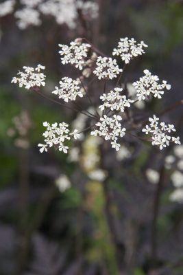 cow parsley (Anthriscus sylvestris 'Ravenswing')