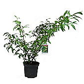 Cotoneaster salicifolius Rothschildianus (Yellow Berried Cotoneaster) Shrub 3L Potted