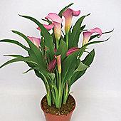 3 x Zantedeschia 'Samur' Bulbs - Perennial Pink Calla Lily Summer Flowers (Corms)