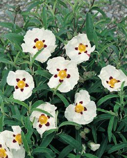 rock rose (Cistus ? purpureus 'Alan Fradd')