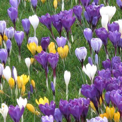 30 x Crocus Bulbs - Large Flowers Mixed Colour Set Bulbs - Perennial Spring (Corms)