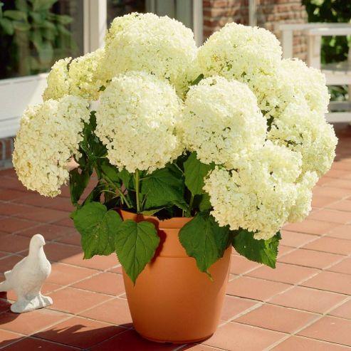 Hydrangea arborescens 'Annabelle' - 3 x 9cm potted plants