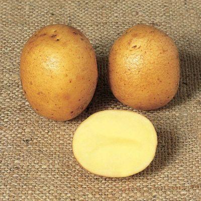 Potato 'Winston' (Exhibitor) - 10 tubers