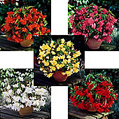 15 x Large Pendula Begonia Bulbs - 5 Coloured Perennial Summer Flowers (Tubers)