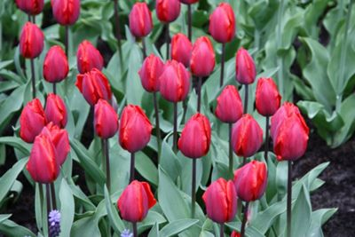 triumph tulip bulbs (Tulipa 'Couleur Cardinal')