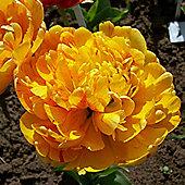10 x Tulip 'Sun Lover' Bulbs - Perennial Spring Flowers