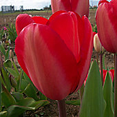 10 x Tulip 'Red Impression' Bulbs - Perennial Spring Flowers