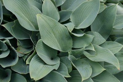 plantain lily (Hosta (Tardiana Group) 'Halcyon')