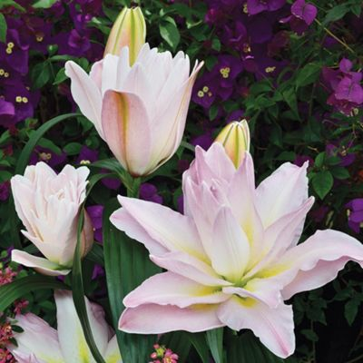 1x Large 'Roberta' Roselily Double Flowering Lily Summer Bulb