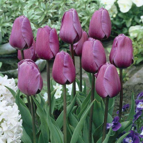Tulip 'Purple Prince' - 20 bulbs