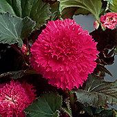 3 x Pink Fimbriata Begonia Bulbs - Perennial Summer Flowers (Tubers)