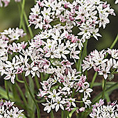 60 x Allium 'Cameleon' Bulbs - Perennial Spring Flowers
