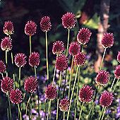 30 x Allium Sphaerocephalon Bulbs - Perennial Spring Flowers