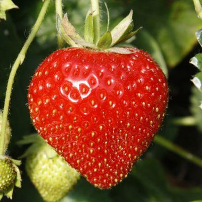 Strawberry 'Finesse' (Everbearer/ All Season) - 6 plants