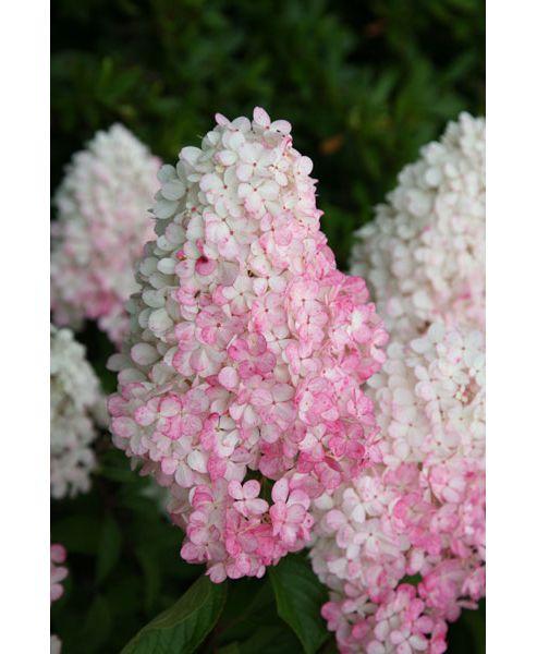 hydrangea (Hydrangea paniculata Vanille Fraise ('Renhy') (PBR))