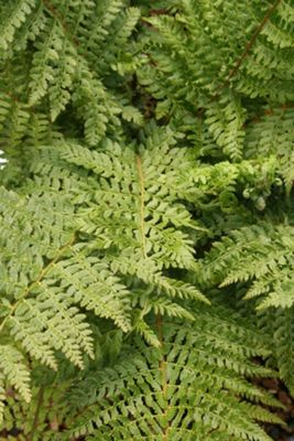 soft shield fern (Polystichum setiferum)