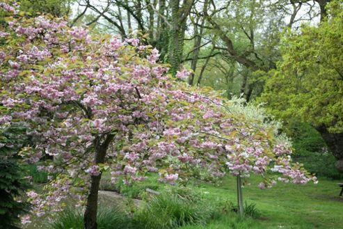 cheal's weeping cherry (Prunus 'Kiku-shidare-zakura')