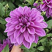 3x Dinner Plate Dahlia 'Arthur Hambley' Summer Flowering Bulbs