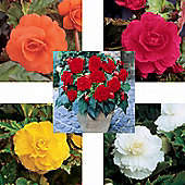 15 x Large Double Flowered Begonia Bulbs - 5 Coloured Perennial Summer Flowers (Tubers)
