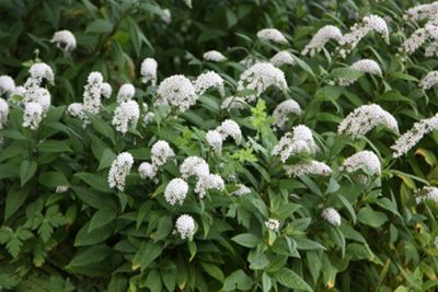 Chinese loosestrife (Lysimachia clethroides)