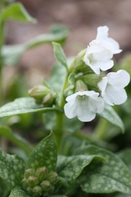 lungwort (Pulmonaria 'Sissinghurst White')