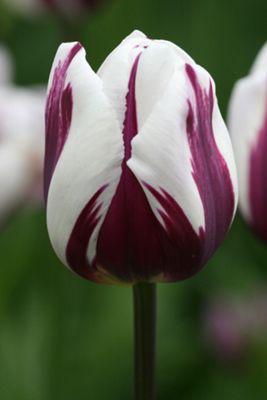 triumph tulip bulbs (Tulipa 'Rems Favourite')