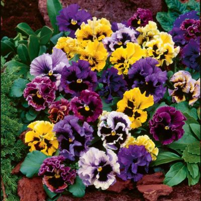 Pansy 'Frizzle Sizzle' Mixed - 72 plugs
