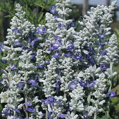 Salvia farinacea 'Strata' - 1 packet (80 seeds)