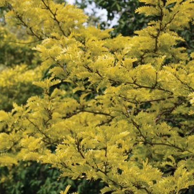 Honey Locust Tree - Part of the Alan Titchmarsh Collection - 1 bareroot plant